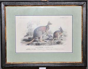 Demeure et Jardin - gravure kangourou - Engraving