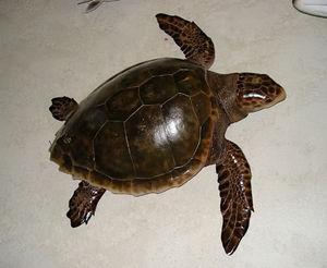 cap vert - tortue - Tierskulptur